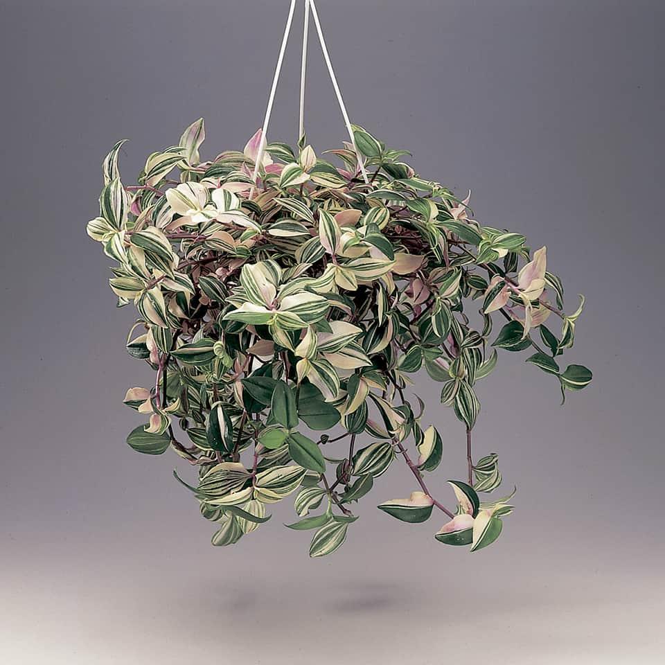 Juoru on nopeakasvuinen viherkasvi joka sopii amppelissa kasvatettavaksi