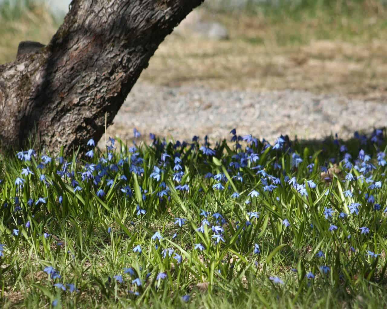 Kevätsipuleilla väriä kukkapenkkiin sekä puiden ja pensaiden juurelle