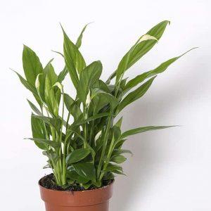 Kukkiva viirivehka on tyylikäs viherkasvi