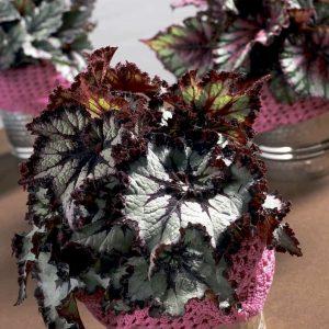 Kuningasbegonia Begonia Red on vanhanajan huonekasvi