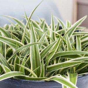 Rönsylilja puhdistaa huoneilmaa ja voidaan kasvattaa joku ruukussa tai amppelissa