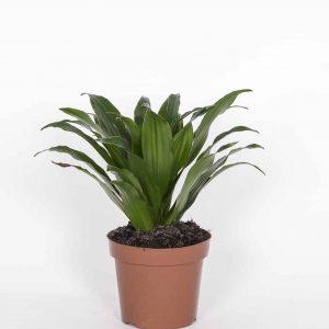 Supputraakki on huoneilmaa puhdistava viherkasvi ja toimii vihersuodattimena