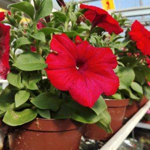 Surfinia Petunia kukkii monissa väreissä aurinkoisella tuulensuojaisella ja sateensuojaisella paikalla