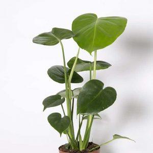 Trendikäs peikonlehti on suosittu viherkasvi