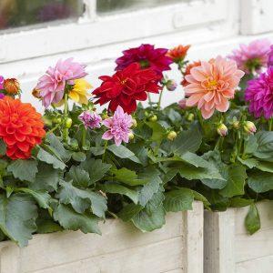 Kotimainen oman tuotantomme värikäs ja kestävä kesädaalia sopii aurinkoiselle paikalle