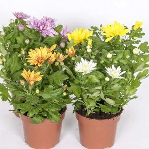 Kestävät ja värikkäät ruukkukrysanteemit kukittavat talvella, keväällä ja pääsiäisenä