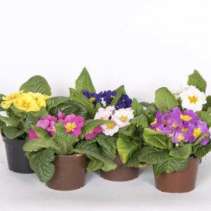 Kotimaiset, värikkäät ja tuoksuvat esikot tuovat kevään