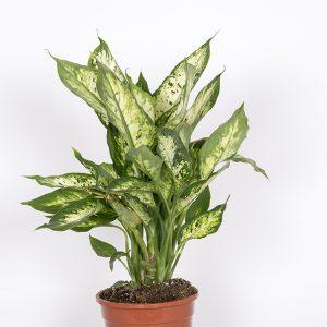 Kirjovehka on huoneilmaa puhdistava viherkasvi