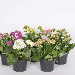 Todella kauan kukkivat ja kestävät tulilatvat soveltuvat tuoksuttomuutensa vuoksi myös allergiakotiin, kotimaista omasta tuotannostamme.