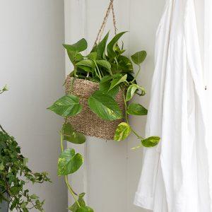 Kultaköynnös on huoneilmaa puhdistava ja kosteuttava viherkasvi