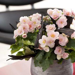 Upea, perinteinen ruusubegonia on tuttu jo isoäidin kukkivana ruukkukasvina