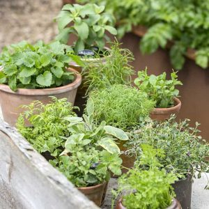 Yrteistä on moneksi ja niitä voi kasvattaa joko monivuotisesti keittiöpuutarhassa tai kesällä lämpimässä paikassa puutarhassa tai kasvihuoneessa
