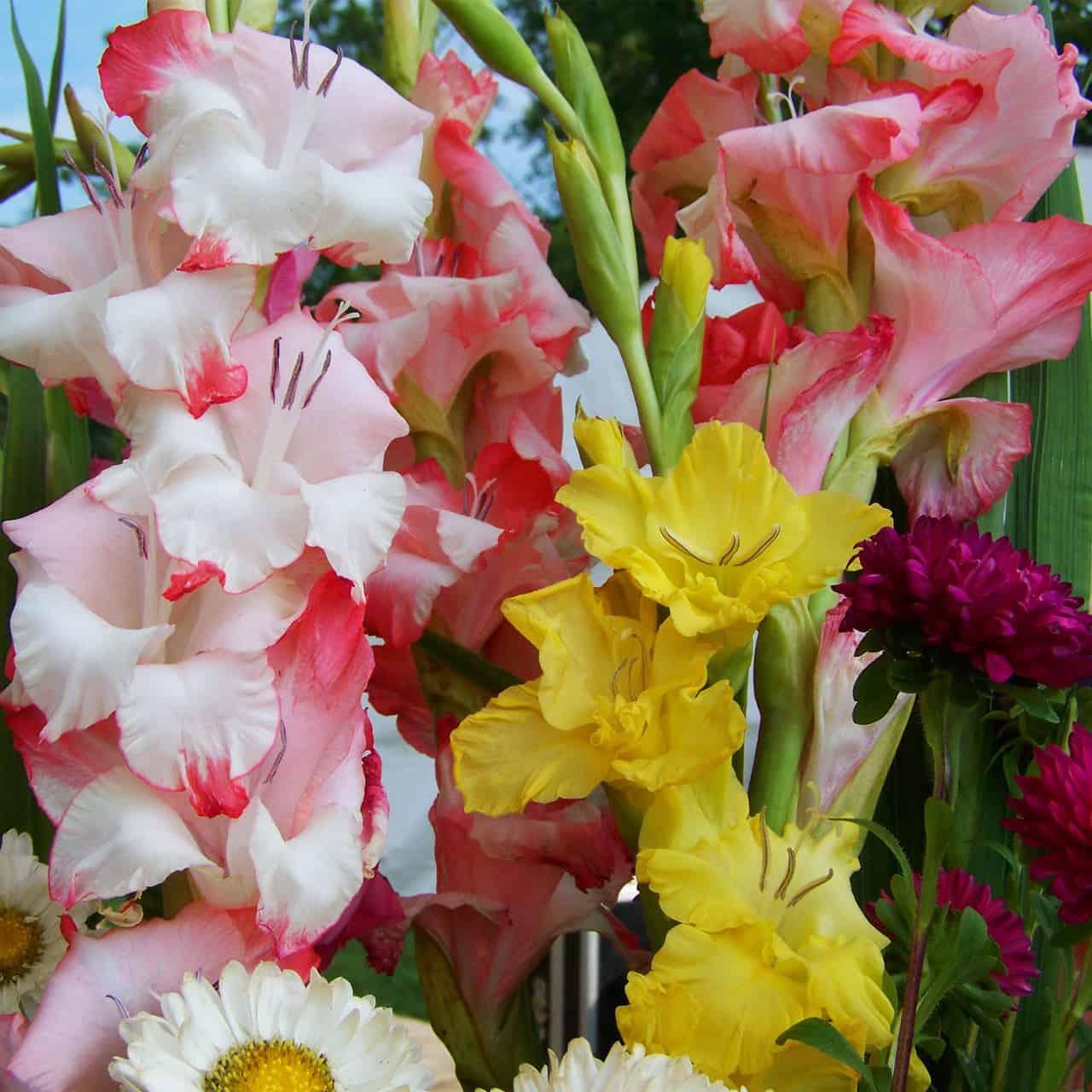 Gladioluksen eli miekkaliljan sipulit ja muut kevätsipulit Pirilän Kukkatalosta edullisesti irtomyynnistä