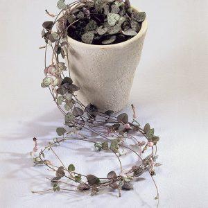 Herttalyhty on kaunis viherkasvi amppeliin tai ruukkuun