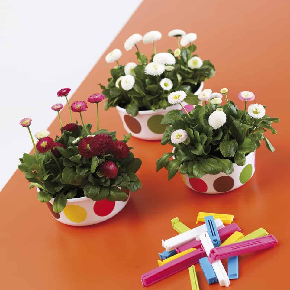 Kaunokainen on monivuotinen perenna joka on saatavana talvella myös ruukukukaksi jalostettuna