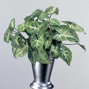 Muulinkorva Syngonium on huoneilmaa puhdistava viherkasvi