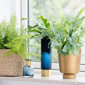 Pesäraunioinen Asplenium_nidus viherkasvi ilmaa raikastava puhdistava