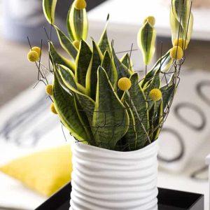 Anopinkieli Sansevieri on ilmaa puhdistava viherkasvi moderniin vihersisustukseen