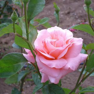 Suurikukkaisia ryhmäruusuja nimitetään jaloruusuiksi, niistä suosituimpia on esim. Queen Elisabeth ryhmäruusu