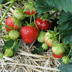 Kotimaiset mansikan taimet omasta tuotannostamme. Perusta mansikkamaa puutarhaan, ruukkuun, viljelylaatikkoon, kasvatussäkkiin, amppeliin tai ihan mihin vain