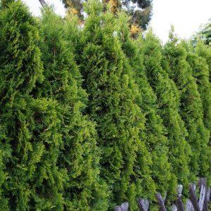 Timanttituija on kapea, kartiomainen havu joka sopii sekä ruukkuun että puutarhaan