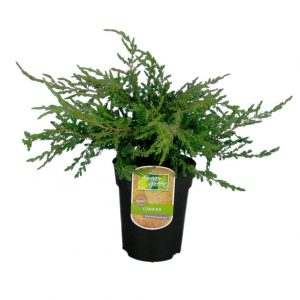 Maata vasten leviävä kääpiökataja Juniperus communis Repanda sopii rinteeseen tai kukkapenkin reunaan