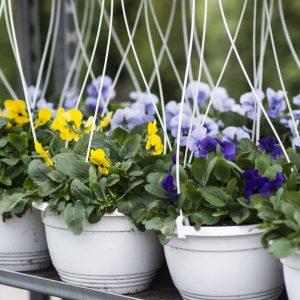 Orvokit viihtyvät viileässä ja ovat kevään ensimmäisiä kesäkukkia parvekkeilla ja terasseilla