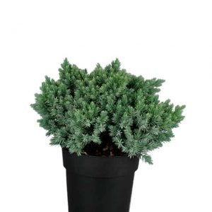 Sinikataja Juniperus Blue Star