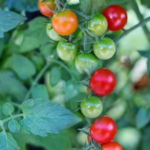 Tomaatin kaasvatus ei tule tämän helpommaksi, hedelmät jo valmiina. Erinomainen ruukkuun tai parvekkeelle