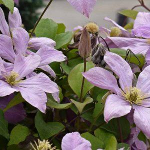 Isokukkaiset jalokärhöt ja loistokärhöt sopivat puutarhaan joko seinän viereen istutettuna, monivuotisten ruusujen kera tai hedelmäpuiden juurille
