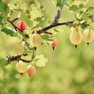 Karviainen on puutarhan ja parvekkeen perus marjapensas