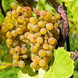 Viiniköynnöksissä on sekä vihreitä että sinisiä viinirypäleitä tuottavia lajikkeita