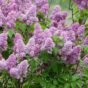 Pihasyreeni on pystykasvuinen pensas jolla on violetit kukinnot juhannuksen tienoilla ja josta saa hyvän vapaana kasvavan tai leikattavan aidan