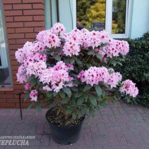 Royal alppiruusut ovat uusi terve, kestävä ja kaunis lajikeryhmä