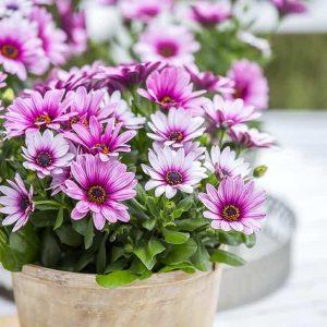Tähtisilmä on koko kesän kukkiva kesäkukka joka viihtyy auringossa