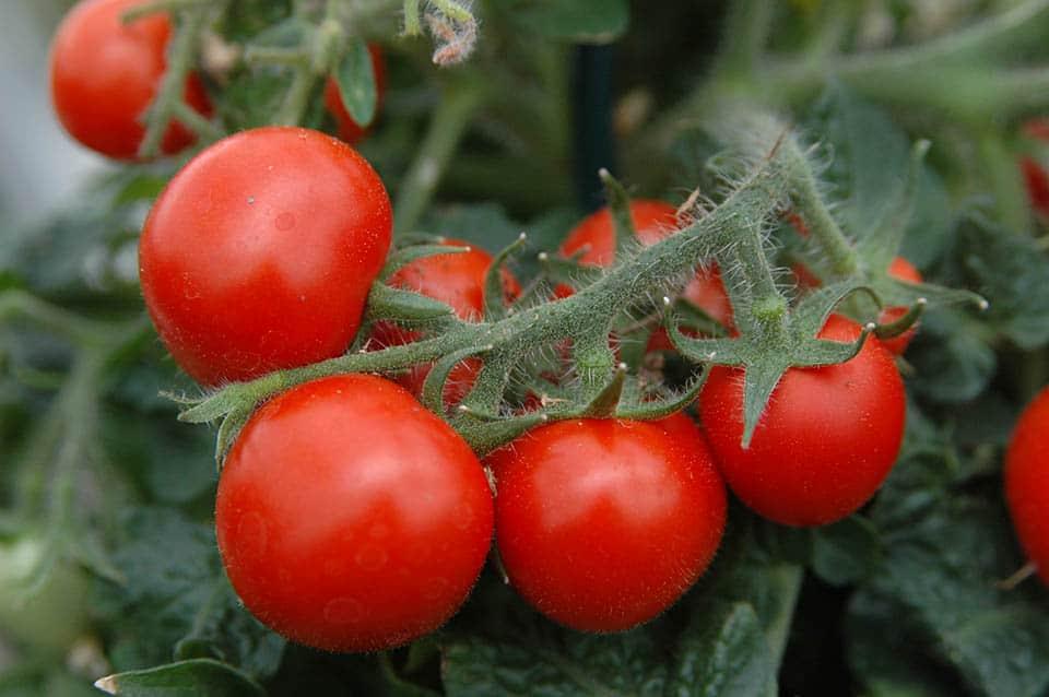 Tomaatteja on useita eri lajikkeita mm. kirsikkatomaatti, amppelitomaatti, pensastomaatti, runkotomaatti, pihvitomaatti ja päärynätomaatti