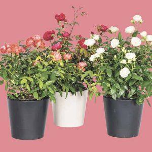 Äitienpäiväruusu Morsdag on kotimainen ja omasta tuotannostamme, se viihtyy ruukussa tai puutarhassa aurinkoisella ja lämpimällä kasvupaikalla