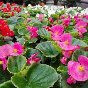 Kesäbegonia on suosittu kesäkukka hautausmailla ja kesäkukkaistutuksissa puolivarjoisella kasvupaikalla