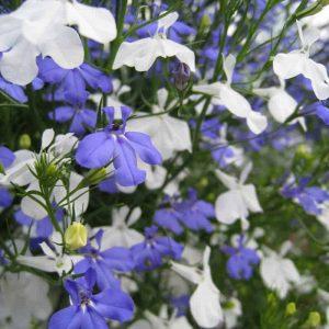 Lobelia on suosittu kesäkukka joka soveltuu amppeliin, ruukkuun, parvekelaatikkoon ja kukkapenkkiin