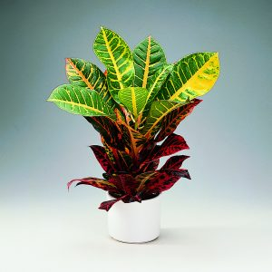 Ihmepensas eli croton on värikäslehtinen viherkasvi