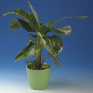 Kääpiöbanaani on eksoottinen lisä viherkasvien joukkoon