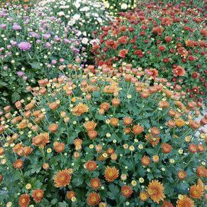 Pallokrysanteemi on kesän ja alkusyksyn komea lisä puutarhaan ja parvekkeelle