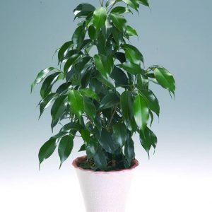Limoviikuna on perinteinen, kaunislehtinen viherkasvi
