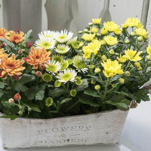 Syysmarkkinoilta värikkäät ja kestävät ruukkukrysanteemit