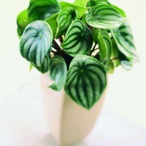 muorinkukka viherkasvi viherkasvit