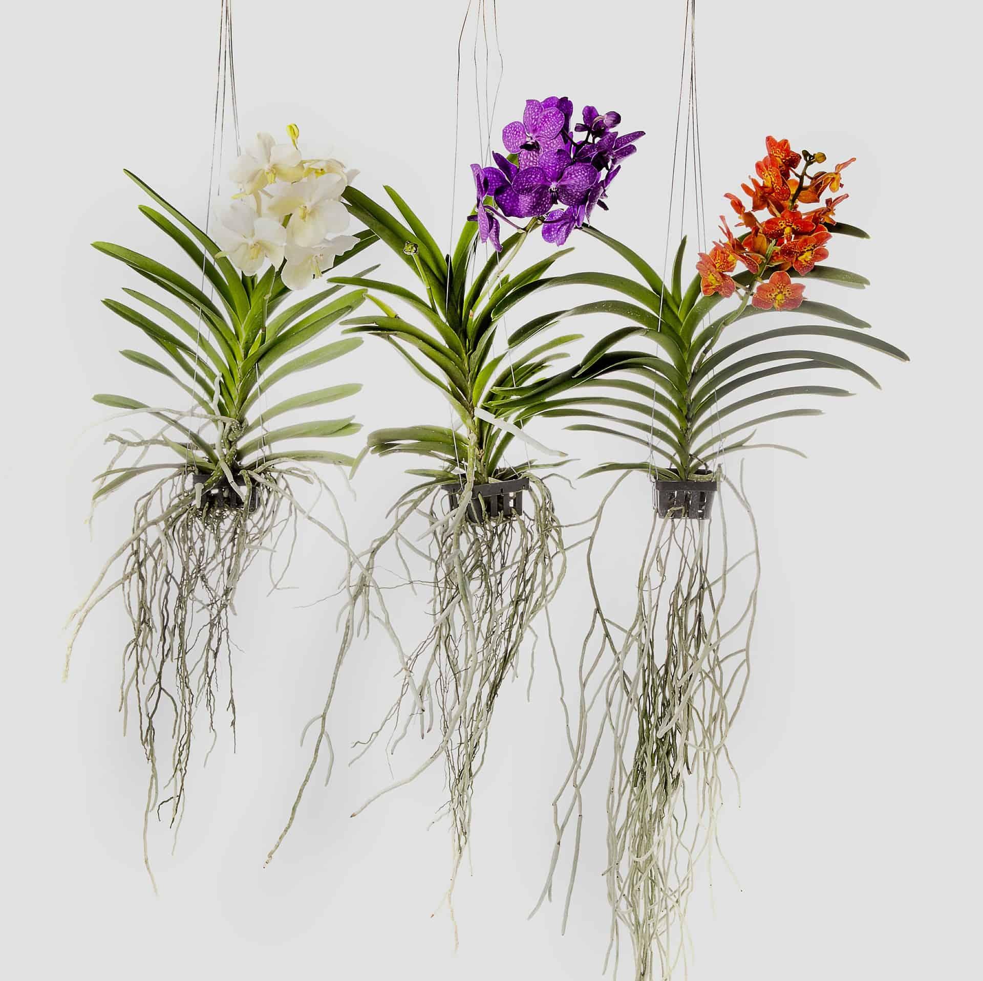 Vanda orkidea