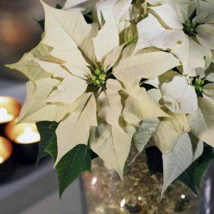 Valkoinen, monilatvainen joulutähti on upea juhlan keskipiste