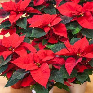 Kotimainen, oman tuotantomme joulutähti on suomalaisten suosituimpia joulukukkia