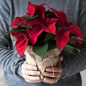 Monilatvaiset joulutähdet kotimaisena omasta tuotannostamme