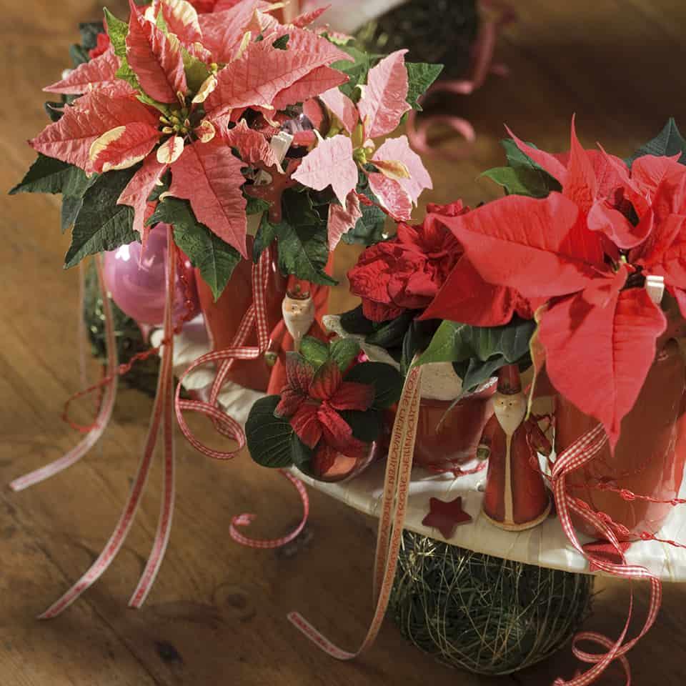 Joulutähtiä löytyy punaisen eri sävyissä sekä 2-värisenä